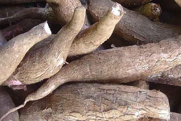 Singkong, Makanan Murah Yang Penuh Manfaat